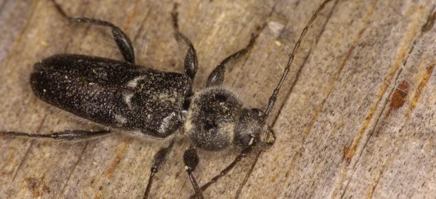 An EHB beetle on a pine wood.