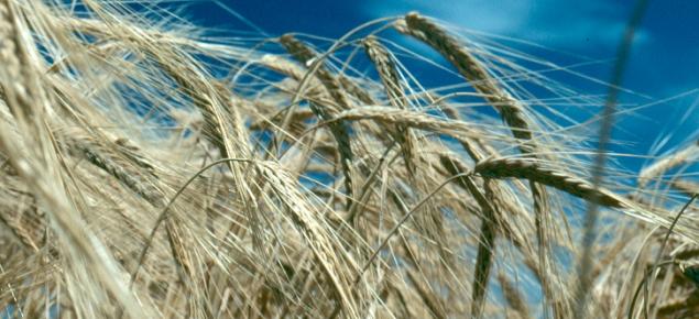 Dry barley heads