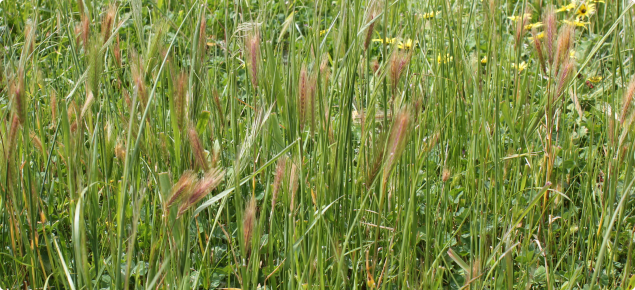 A mixed pasture with barley grass and silvergrass seed heads