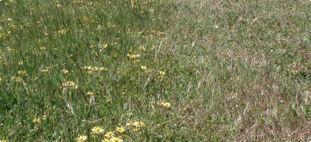 A subclover and barleygrass pasture that has been spray-topped on the right hand side
