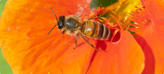 Bee on an orange coloured nasturtian flower.