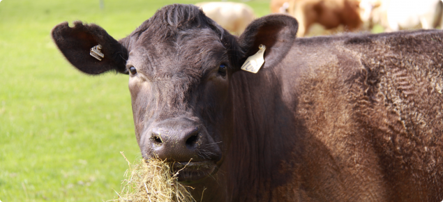 Cattle can be affected by anthrax