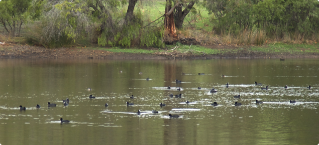 Water birds on farm dams