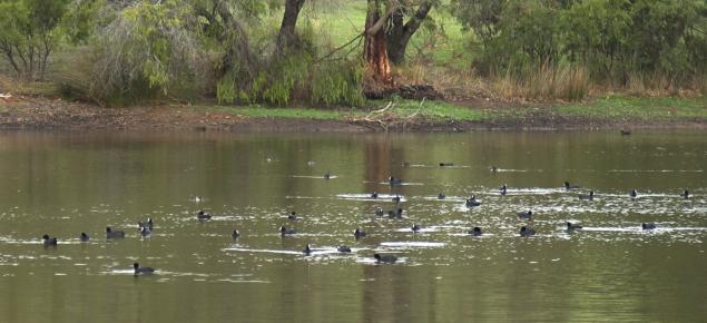 Water birds on farm dams