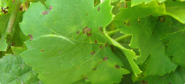 Grape leaf showing the small circular lesions which appear on young leaves early in spring