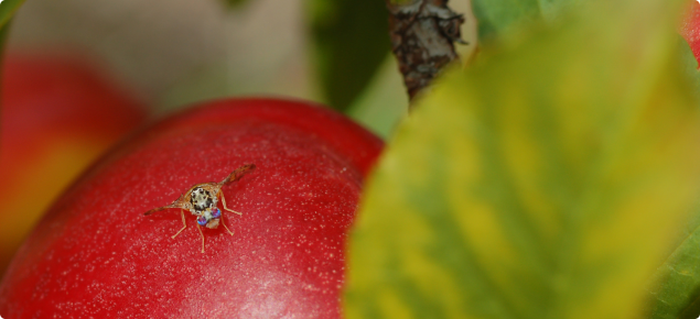 Medfly on fruit