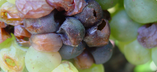 Grapes infected with the fungus Botryosphaeria which causes bunch rot and is commonly associated with trunk disease