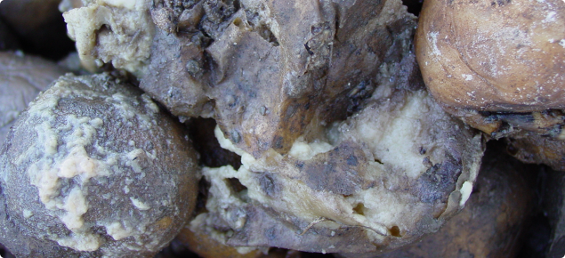 Close up view of potatoes which have broken down in store