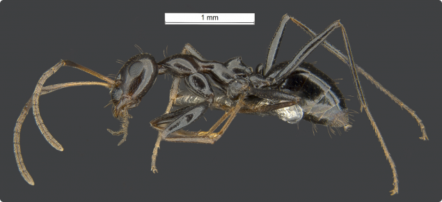 close up image of a browsing ant which is balck with brown tips on its legs