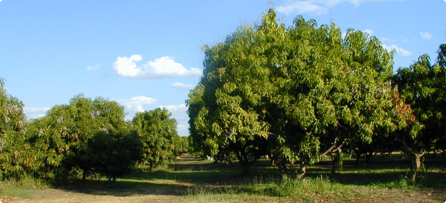 Buffer zone between organic and conventional mango plantings.