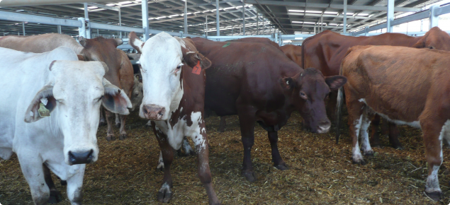 Cattle in saleyards