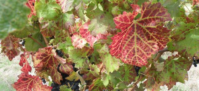 GLRaV in Cabernet sauvignon vines