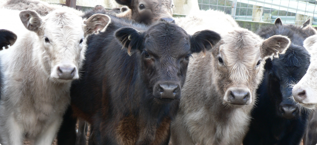 Three young murray grey calves standing together with correct NLIS electronic identification and earmarks.
