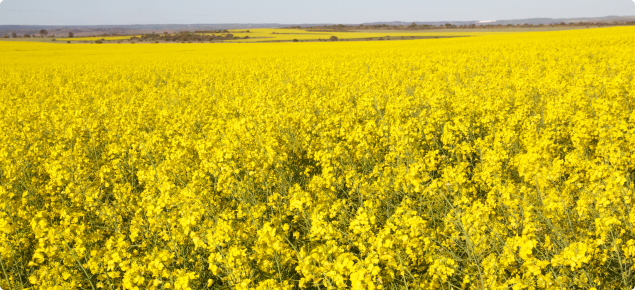 Information on genetically modified gm crops agriculture and food canola field in full flower mightylinksfo