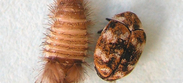 Carpet beetle adult an larva