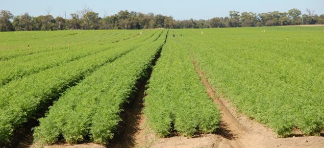 Carrot crop, Myalup, Western Australia