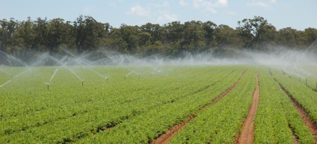 Sprinkler irrigation of carrots