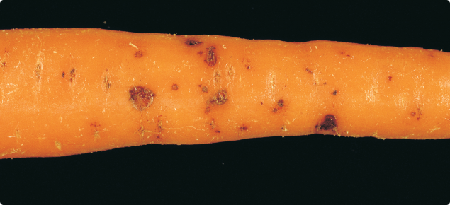 Cavity spot lesions on carrot