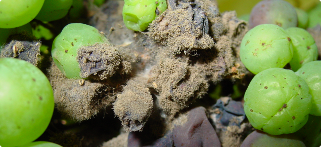 A bunch of grapes infected with botrytis cinerea, with some berries turning purple and others with grey fungal growth extruding from the berry