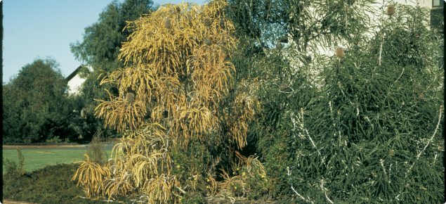 Banksia speciosa later confirmed as infected with Phytophthora cinnamomi