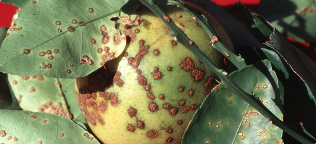 grapefruit affected by citrus canker