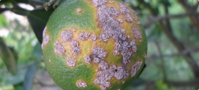 citrus canker on orange