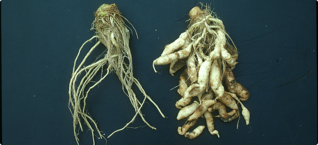 Distorted and swelling roots of cauliflower plants, which have been affected by clubroot disease (right of picture).  Normal healthy roots of cauliflower, with no swellings or distortions are shown on left of picture.