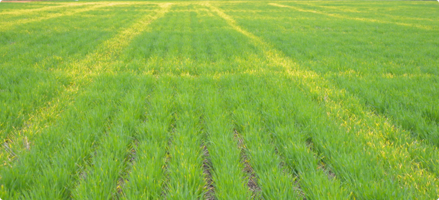 crop yellowing from waterlogging in compact soil from cropping traffic in a wet year