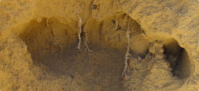 wheat root growth restricted by compaction in a yellow sand
