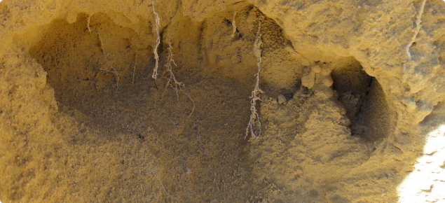 Roots restricted in compacted sand