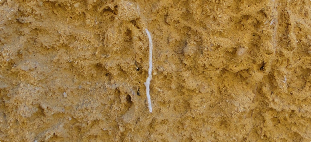 A wheat root thickened and distorted by growing through strong compacted sand