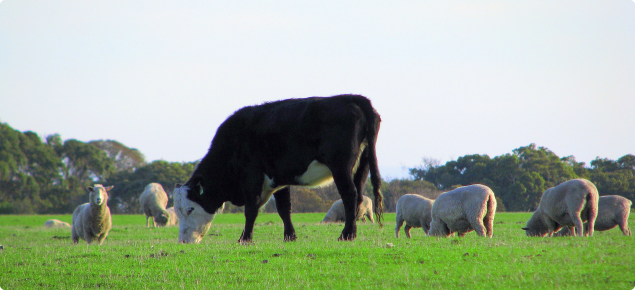 Cow and sheep grazing in a paddock