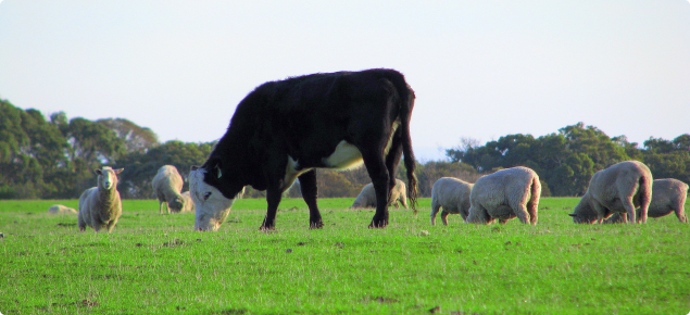 A mob of sheep grazing pastures with a single cow.