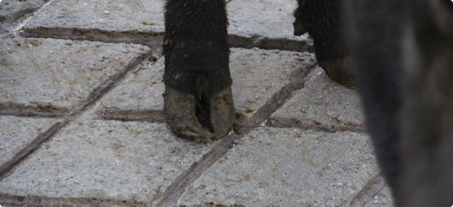 Close up of a cow's back feet with a bent-looking hoof