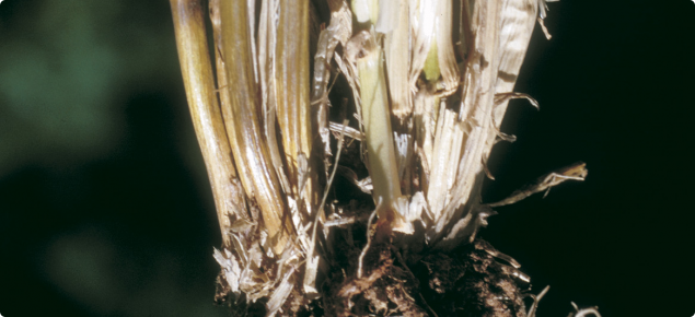 crown rot disease