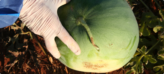 Outside of watermelon showing necrotic patches on the stalk