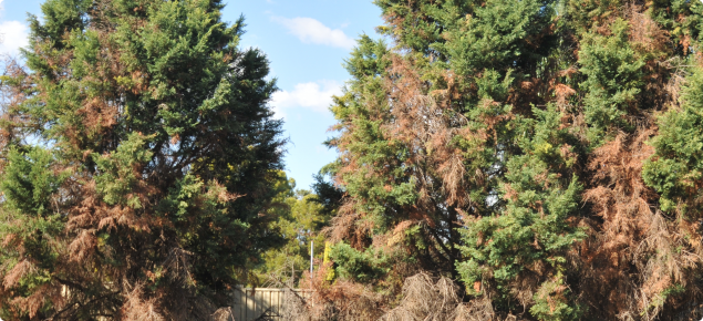 Conifers with brown foliage, mostly at the base of the tree.