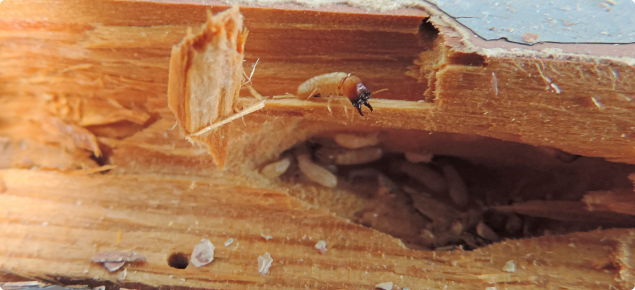 Drywood Termite On Cocos Keeling Islands Agriculture And Food