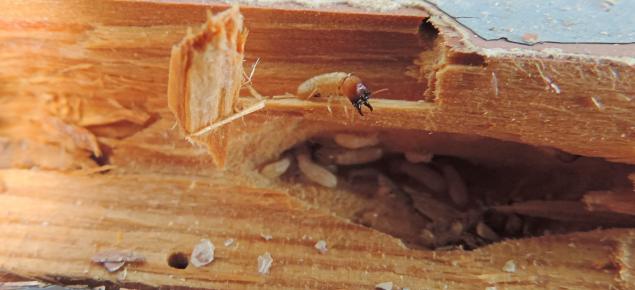 DWT termite
