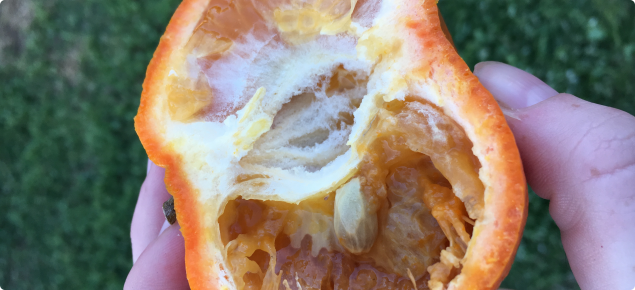 Damaged orange flesh caused by Medfly larvae