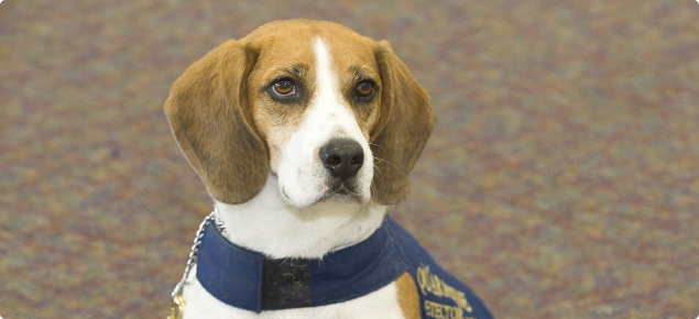 A beagle detector dog called Boston