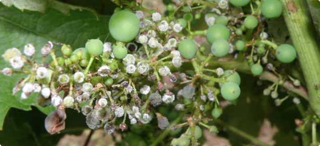 A grape bunch with several berries infected with downy mildew as evidenced by the white down on the berries
