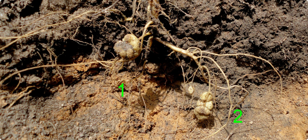 Taproot pinched (1) with only a single lateral root (2) penetrating the subsoil down an old root channel