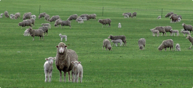 Merino ewe with poll dorset twins in a paddock.