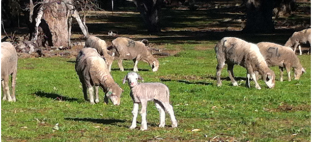 Lambing ewe lambs in the experiment enjoy a sunny winters day