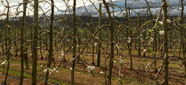 First Flowers on Cripps Pink, under netting in Manjimup