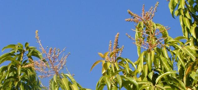 Mature Kensington Pride mango trees tend to have less biennial bearing.