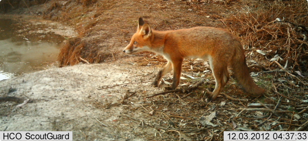 A picture of a fox captured by sensor cameras