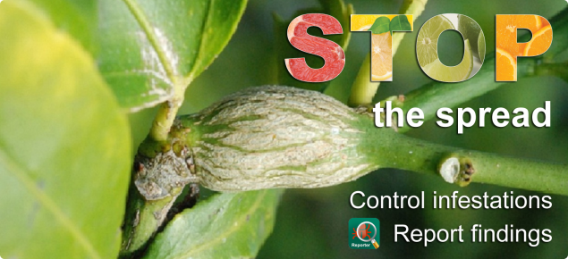 Photo of citrus gall on stem