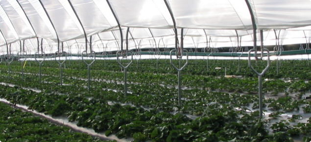 Strawberries under Haygrove tunnels